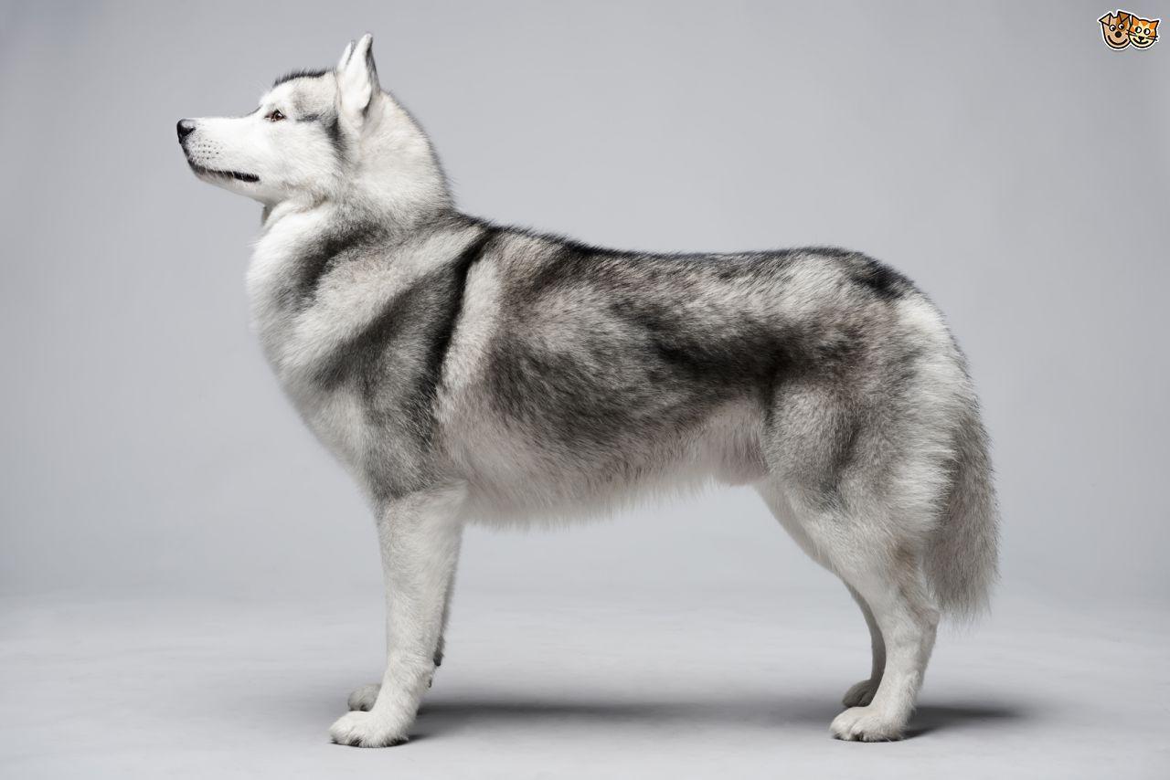 Silver Siberian Husky Dog Breeds Siberian Husky