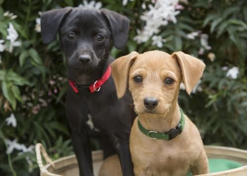 Skip Dachshund Schnauzer Dog Redwood City Ca Adoptadog With Images Schnauzer Dogs Dogs Dog Adoption