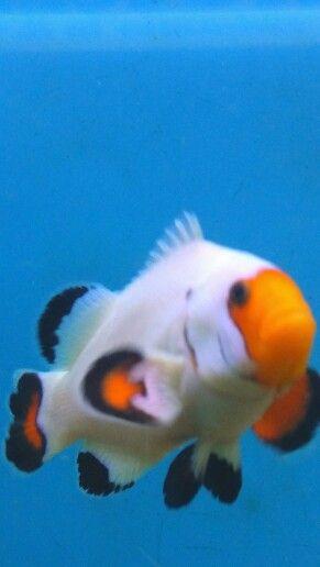 Wyoming White Clownfish Fish Pet Clown Fish Tropical Fish