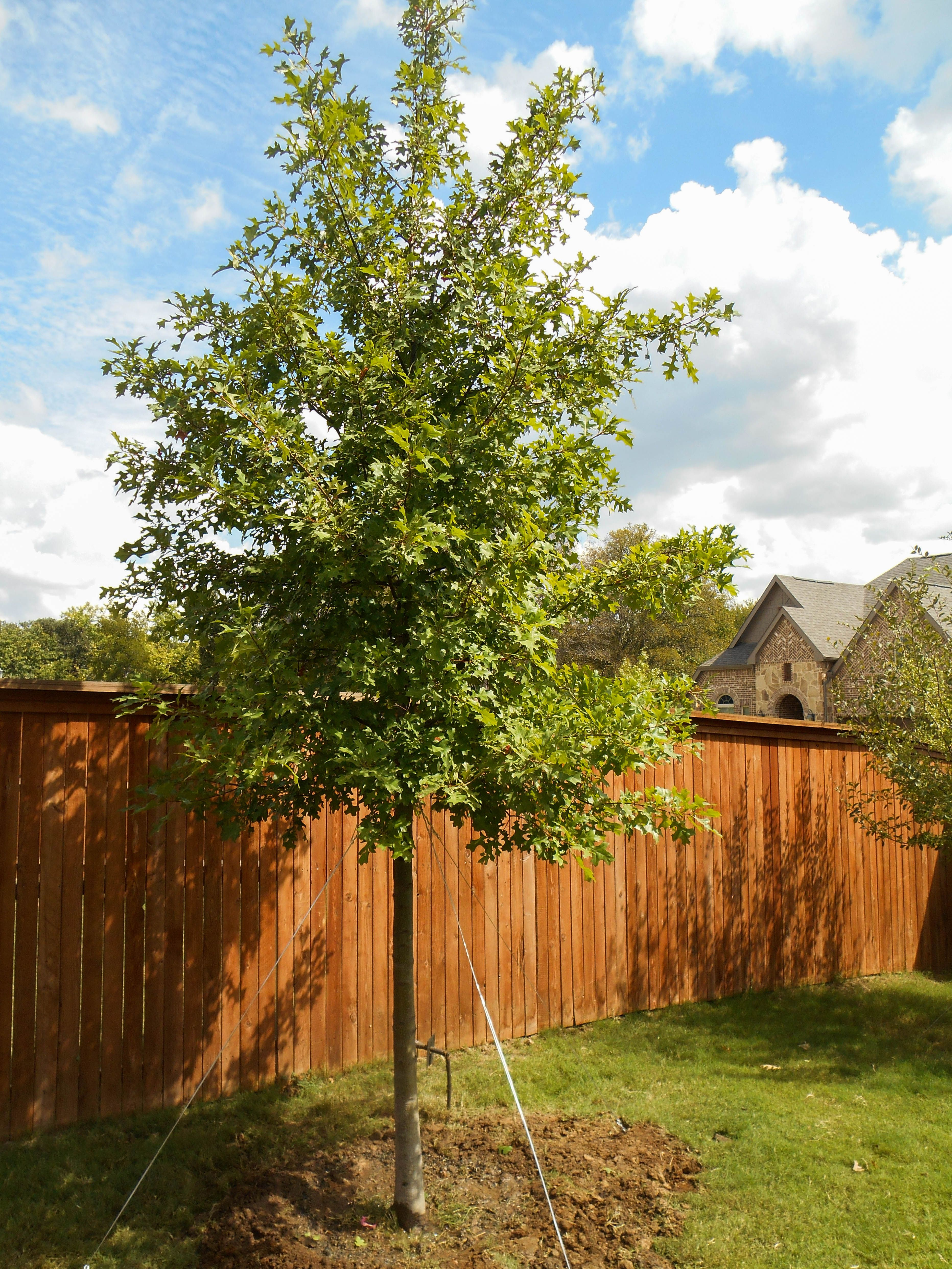 our best seller the shumard red oak tree does great in texas