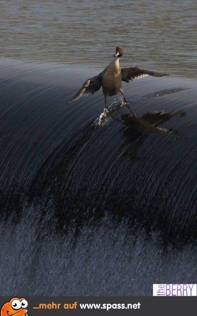 Surfer Ente Lustige Bilder Tiere Enten Und Verrückte Tiere