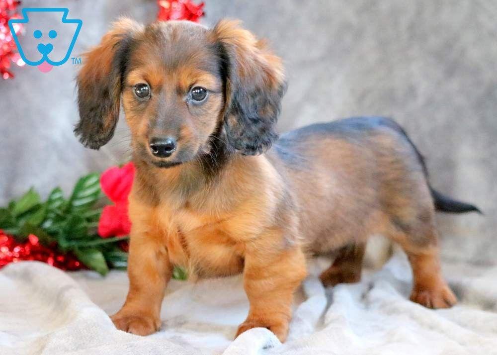Ally Miniature Puppies Puppies Dauchshund Puppy