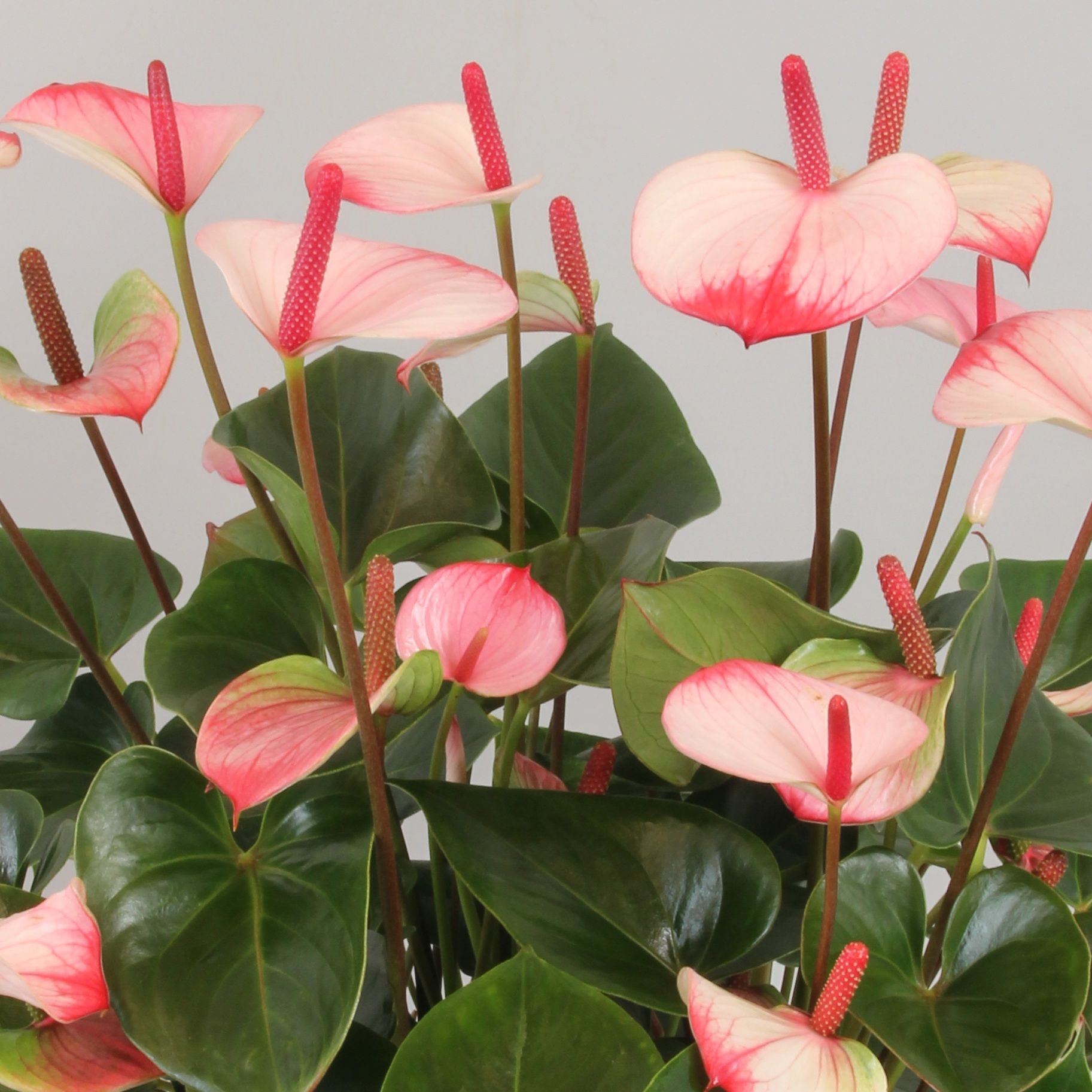 Anthurium Princess Amalia Elegance Anthurium Flower Anthurium Plant Variegated Plants