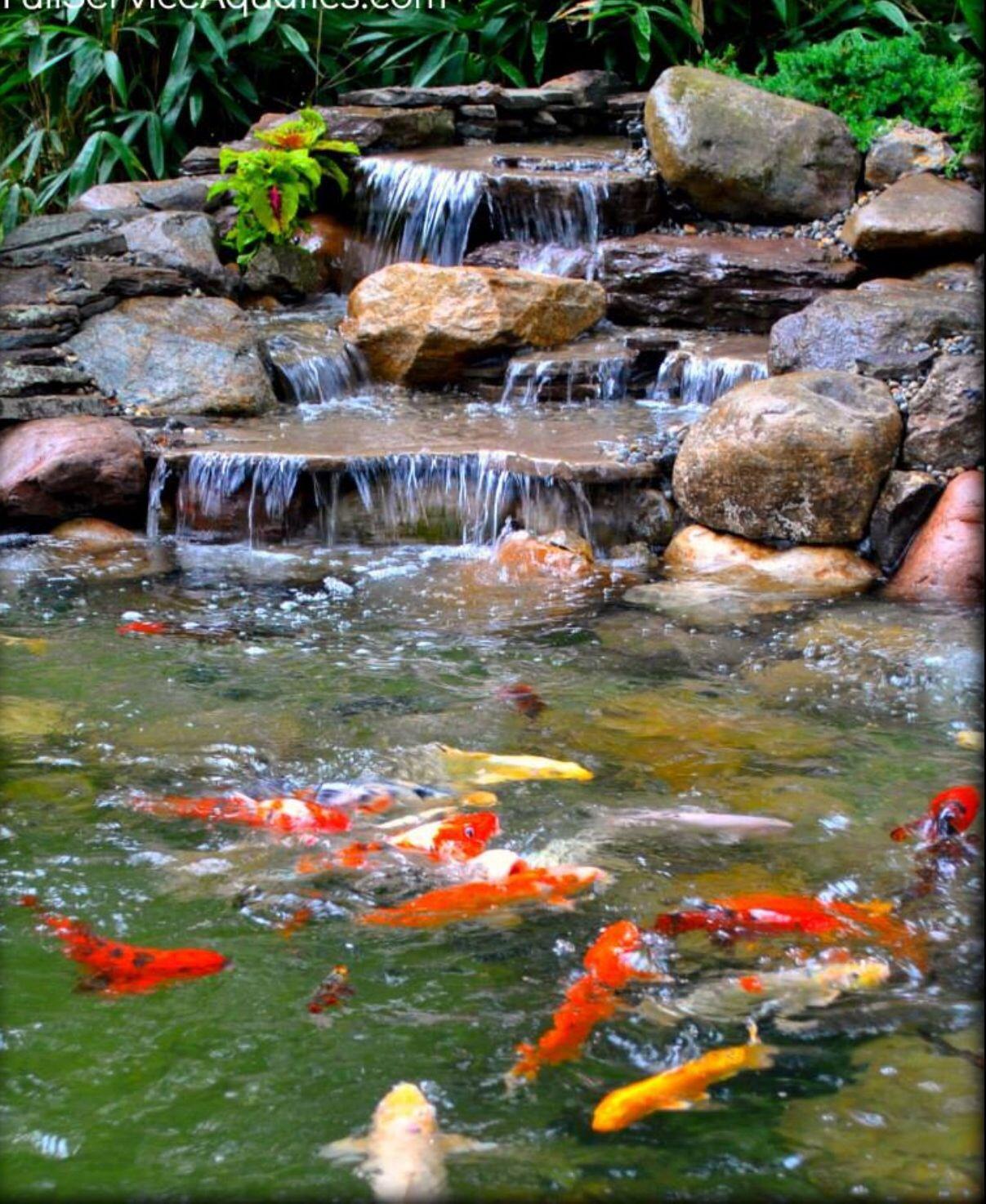 Koi Fish In A Backyard Pond