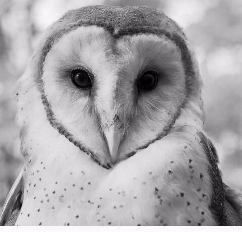 Barn Owl In Black White Owl Pet Barn Owl Owl
