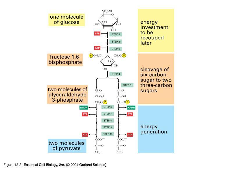 Glycolysis biology eoc prep pinterest glycolysis ccuart Choice Image