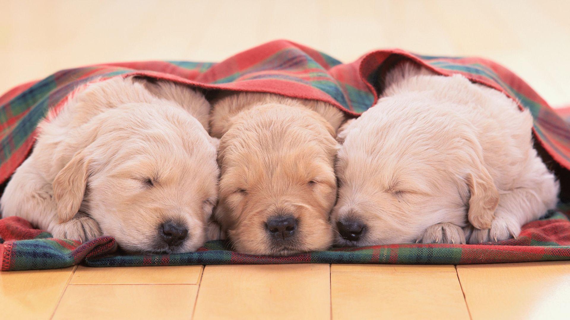 Puppies Cute Desktopia Animals Wallpapers Sleeping Puppies Retriever Puppy Golden Retriever