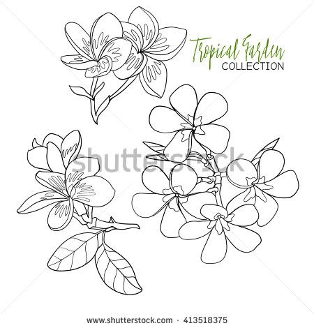 Plumeria Tropical Plant Vector Illustration Coloring Book For