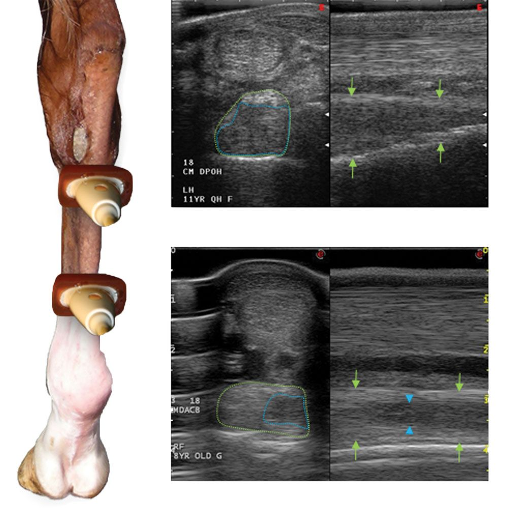 Suspensory Ligament Injuries In Dressage Horses Riding And