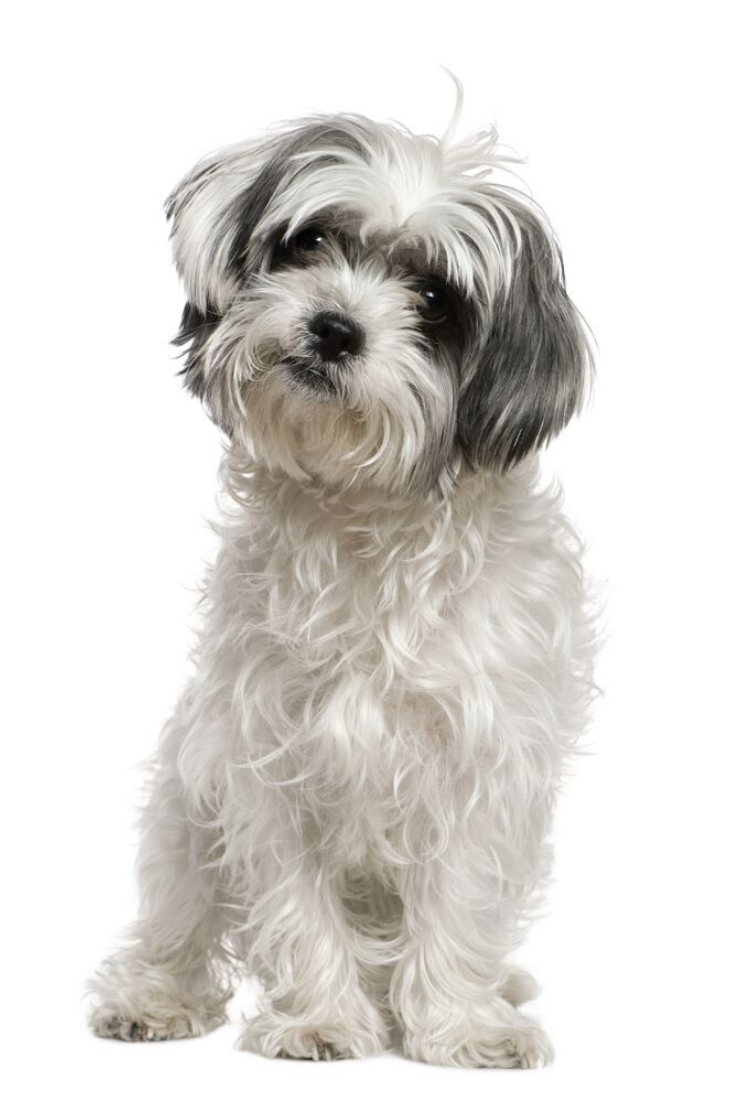 Maltese Dog Mixed With A Shih Tzu 3 Years Old Sitting In Front Of White Background Shihtzu Maltese Shih Tzu Dog Breeds Shih Tzu