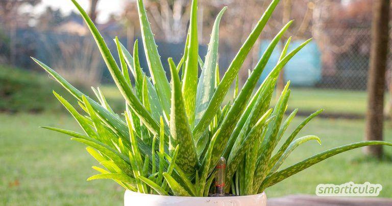 Aloe Vera Richtig Pflegen Damit Du Immer Frisches Gel Hast Hautpflegeprodukte Aloe Vera Pflanze Aloe Vera