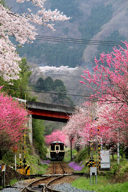 Sakura Railway Japan The Best Time To Go To Japan Is When The Sakuras Are Blooming Sandisk Beautiful Places Nature Scenery