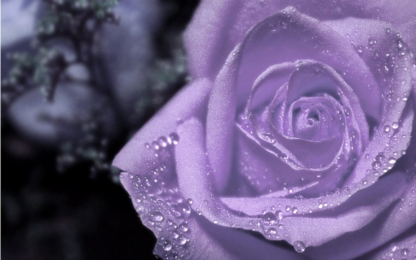 Wallpapers purple the most beautiful flower of world soft rose wallpapers purple the most beautiful flower of world soft rose 1600x1000 izmirmasajfo