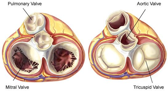 Superior view of the heart showing heart valve anatomy | Mitral ...