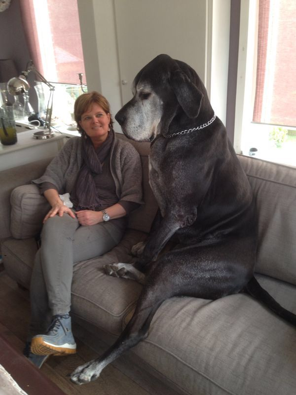 Great Dane Patient And Friendly Dane Dog Great Dane Dogs