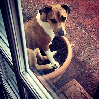Bull Terrier Bull Terrier Pets Pet Adoption