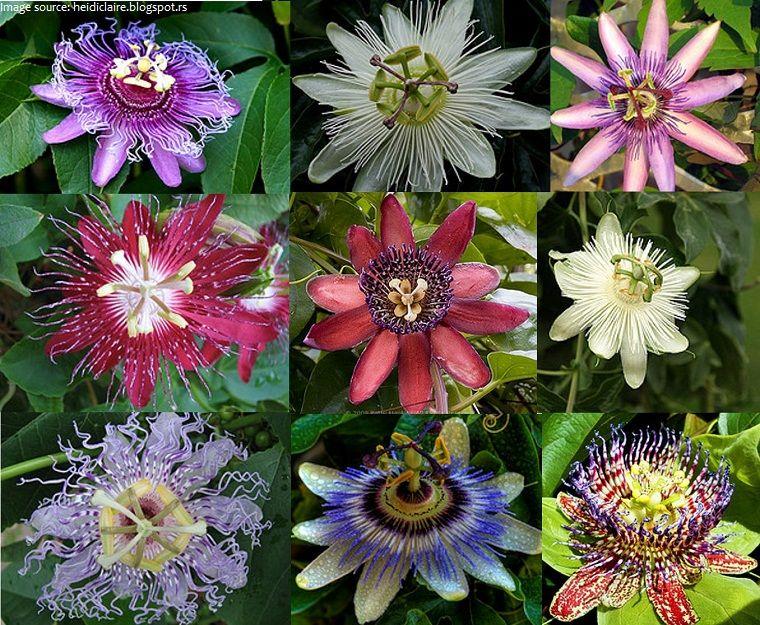 Passiflora In Herbalism