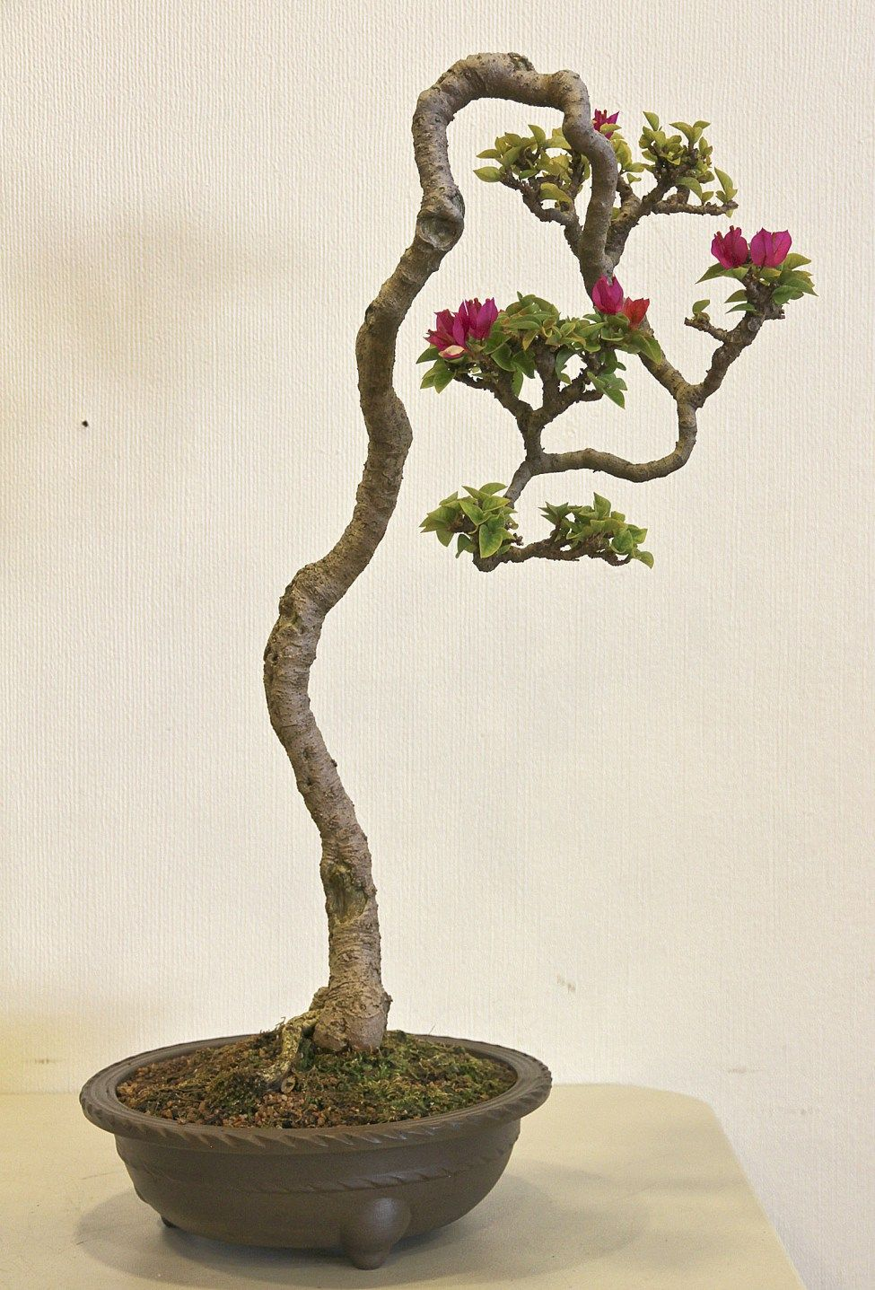 1000 Images About Bonsai On Pinterest Trees Bonsai Trees And