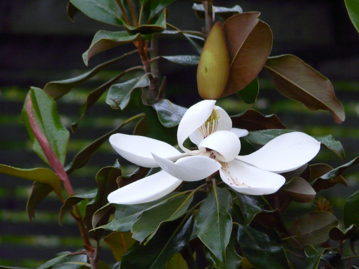 Kay Parris Magnolia Glossy Leaves With Orange Brown Fuzzy Undersides And Long Flowering Fragrant Blooms About Full Flowering Trees Showy Flowers Magnolia