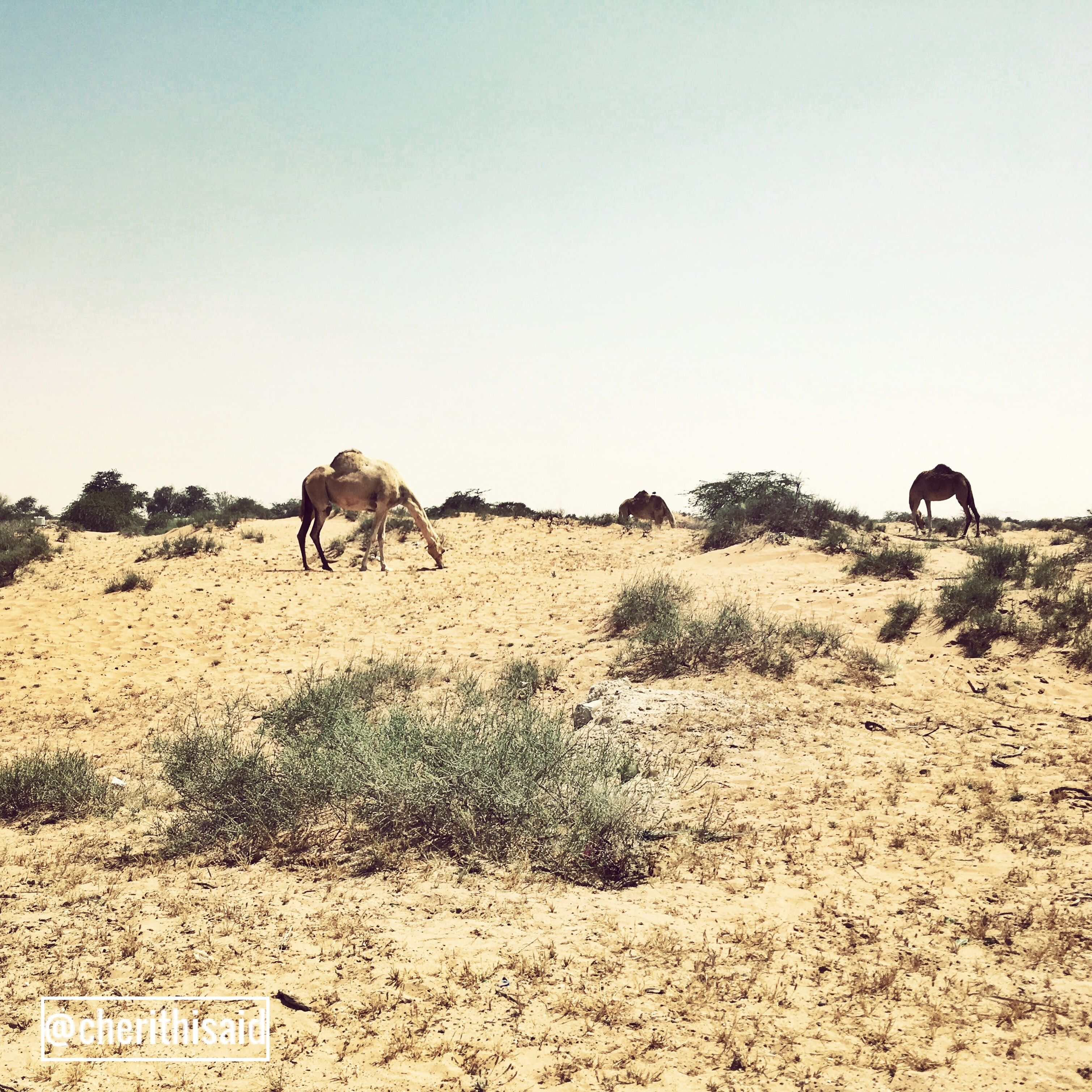 Camels near the Empty Quarter in Ras Al Khaima, UAE