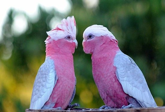 Galah, known as the Rose-Breasted Cockatoo in the united states