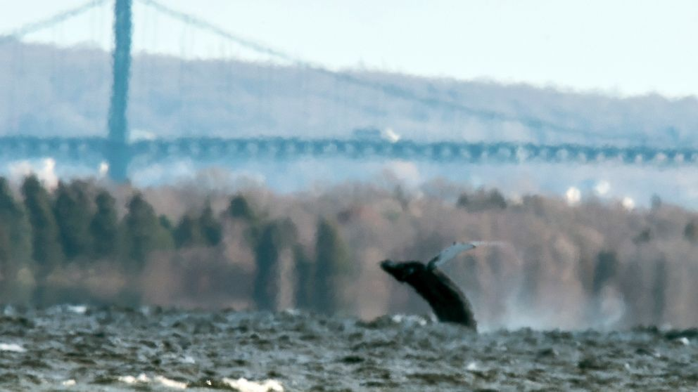 A 50-foot humpback whale made an uncommon trip on Monday deep into Rhode Island's Narragansett Bay, where it was spotted breaching and playing for about 45 minutes.