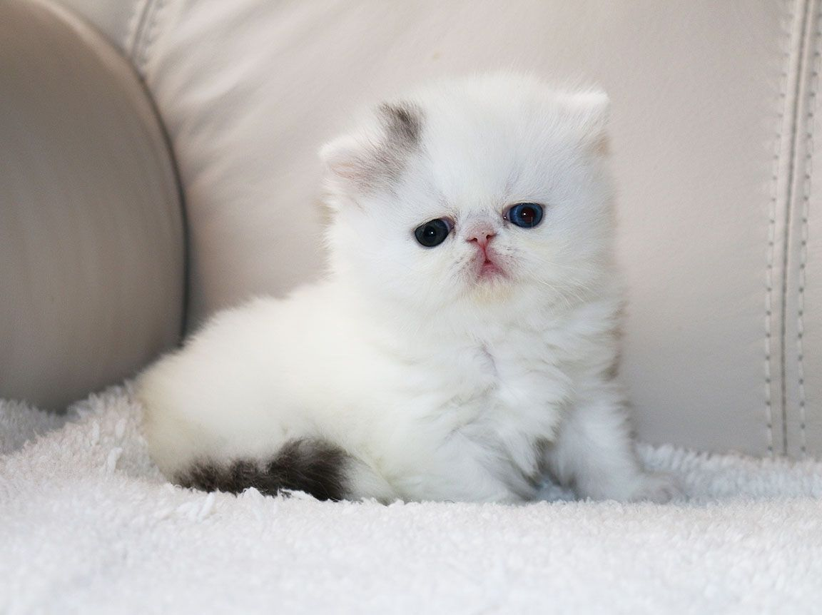 Alfenloch Eyez Incredible Oe Silver Tabby White Van Male Persian Kitten Persian Kittens Persian Cat White Persian Cat