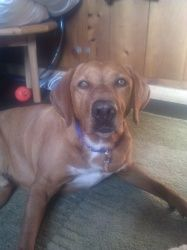 Adopt Roscoe On Rhodesian Ridgeback Dog Roscoe Rhodesian Ridgeback