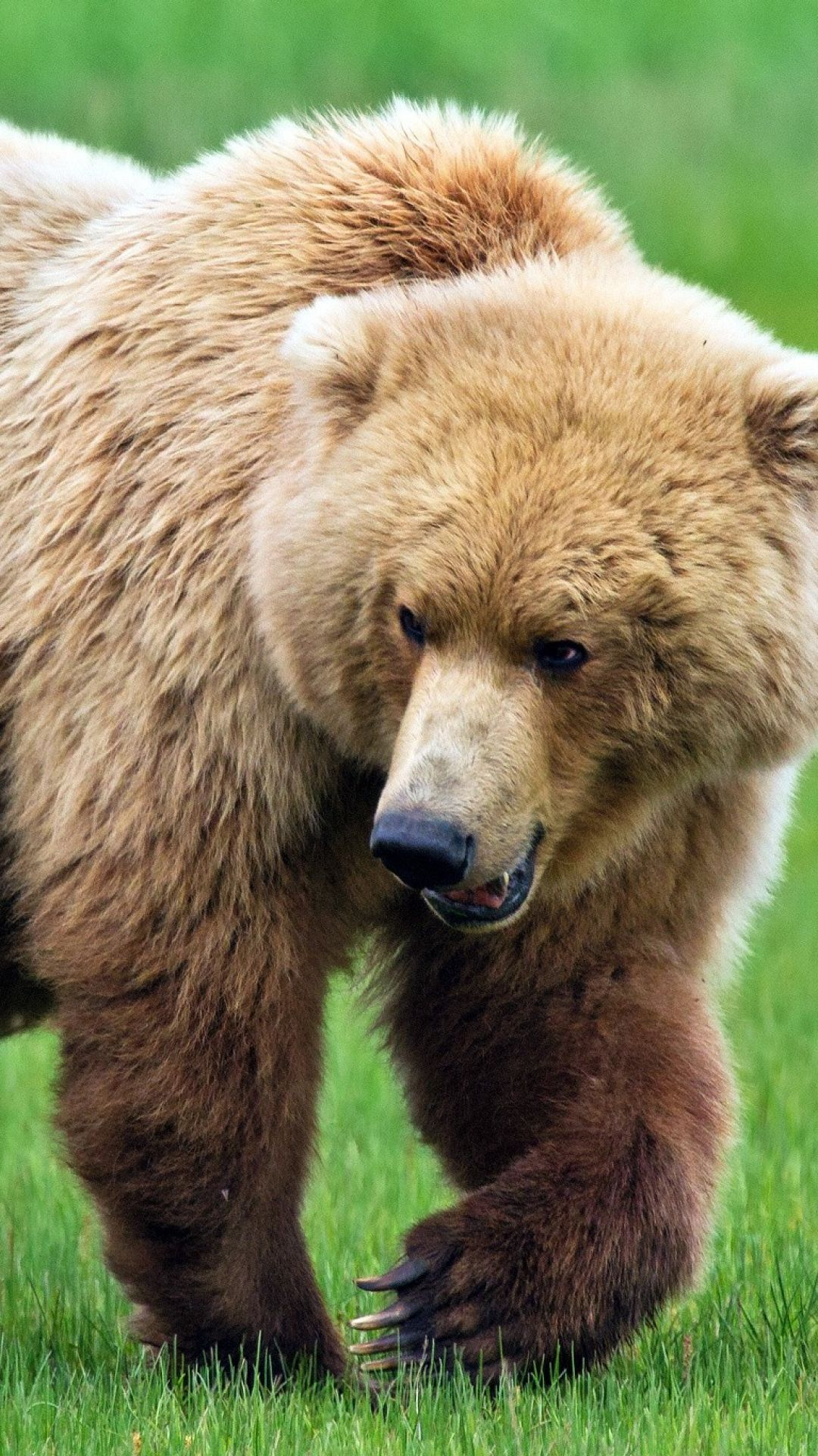 bear, grass, walk, predator Animals beautiful, Bear