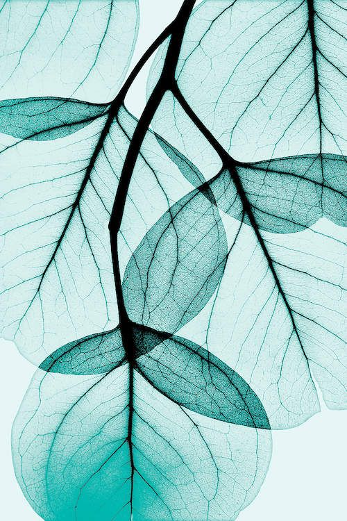 Teal Eucalyptus - Canvas Print