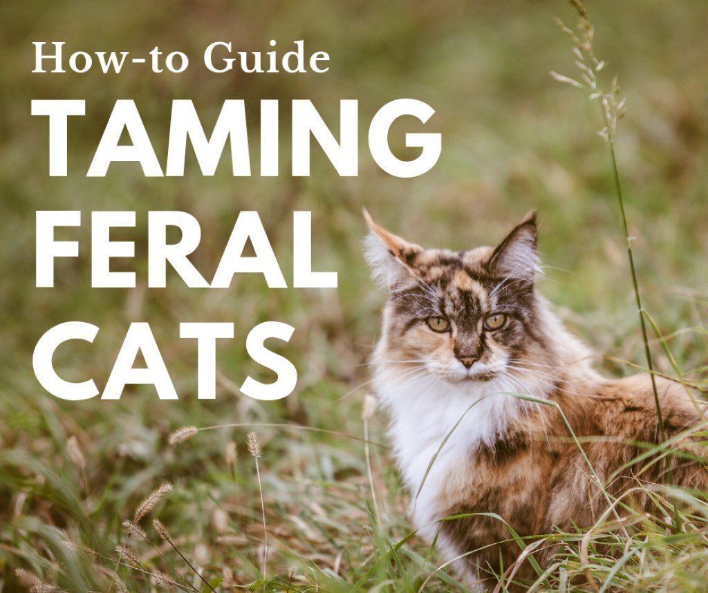 How to Tame a Wild Cat in 2020 Cats, Wild cats, Feral cats