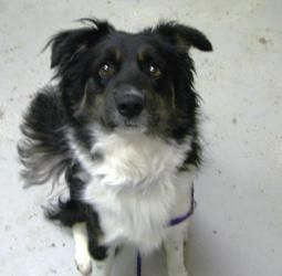 Adopt Zimmer On Petfinder Collie Dog Border Collie Border Collie Dog