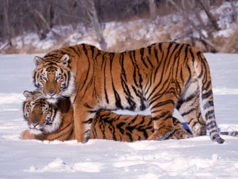 Siberian Tigers Photographic Print #tiger #wildcats #wildanimals #photogifts #posters