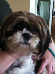 Cassie Is An Adoptable Shih Tzu Dog In Grove City Oh Cassie Is A