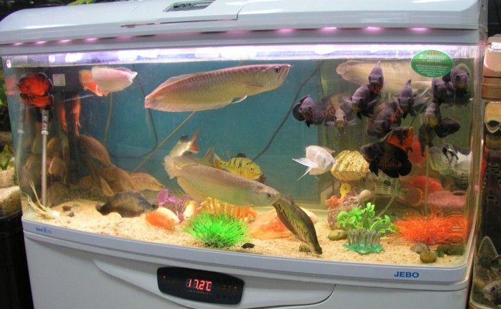 Cara Merawat Ikan Arwana Merawat Ikan Hias Aquarium