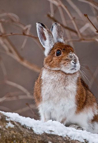 winter rabbit | beautiful creatures | Bunny, Animals