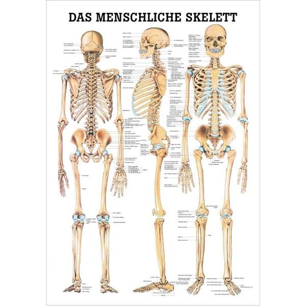 The Human Skeleton Chart   Bones   Pinterest