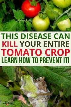Vegetable Gardening Learn How To Prevent Late Blight From Killing Your Tomatoes And What To Do If It Hits Your Garden