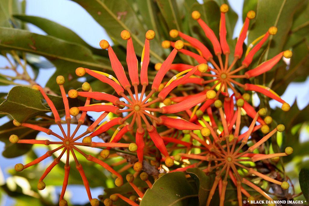 Stenocarpus sinuatus - Firewheel Tree,Wheel of Fire Tree ...