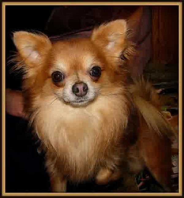 Long Haired Deer Head Chihuahua Puppies Zoe Fans Blog