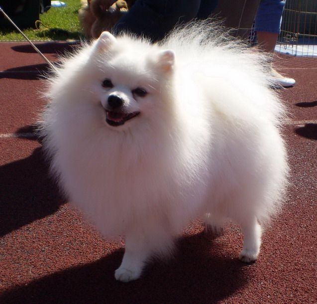pomeranian dog breed information and pictures - 637×610
