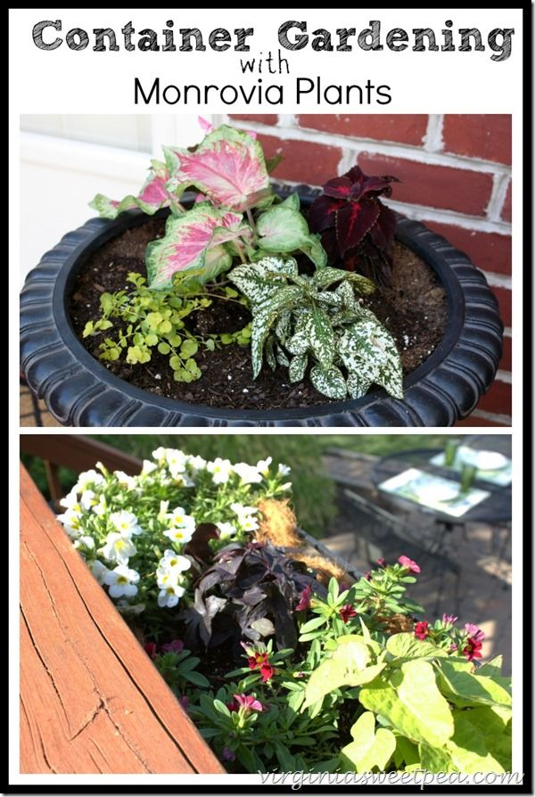 Container Gardening with Monrovia Plants is part of Container gardening, Potted plants patio, Monrovia plants, Plants, Garden, Farm gardens - My deck is washed, stained and looking pretty with containers filled with Monrovia plants