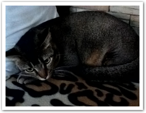 MISSING: Grey Tabby Cat with Black Stripe on Forehead at Blk 633 Pasir Ris Dr 3 (24 Mar 2012)