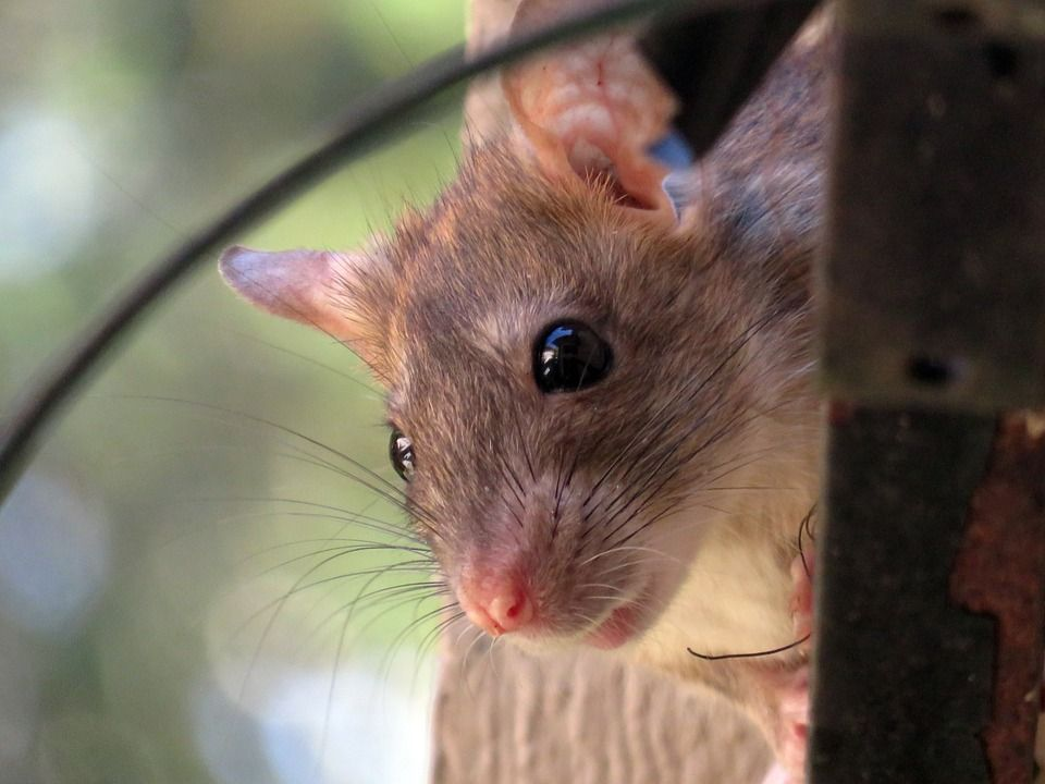 how to get rid of roof rats in attic