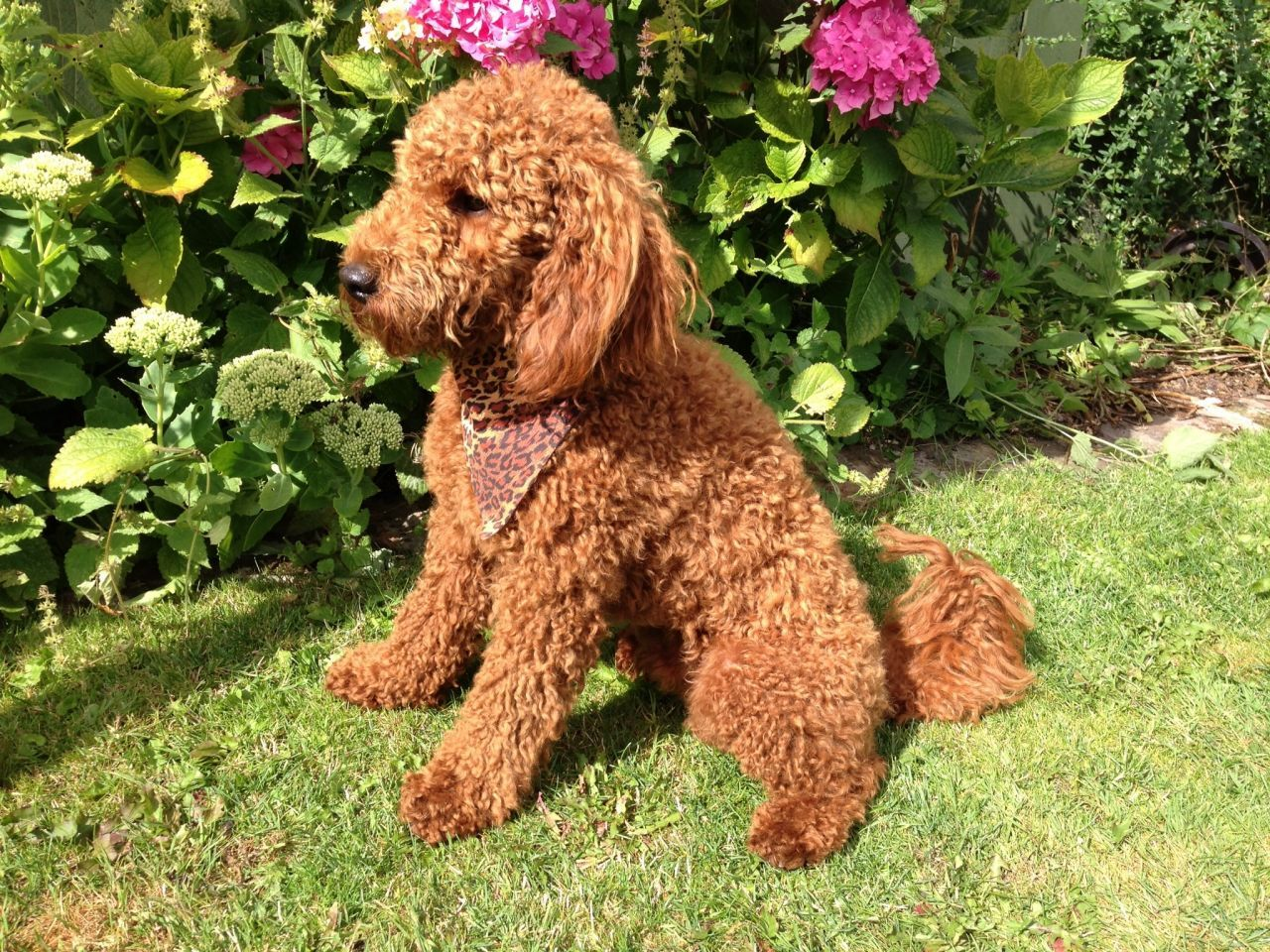 Fox Red Kc Reg Miniature Poodle Stud Dog 520a84f3efec7 Jpg 1280