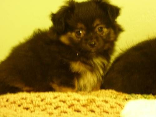 Pomeranian Chihuahua Dogs And Puppies Dogs