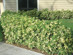 Schefflera arboricola landscape plants for south florida for Typical landscaping plants