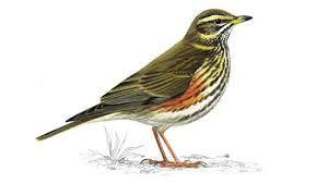 fieldfare- song like a triple quack