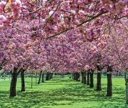 #ridecolorfully  brooklyn botanic gardens for sakura matsuri festival....check!