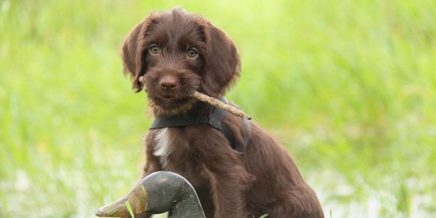 Pudelpointer puppies for sale near me